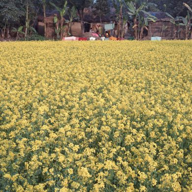 Rape-field in front of houses in Rudrapur.